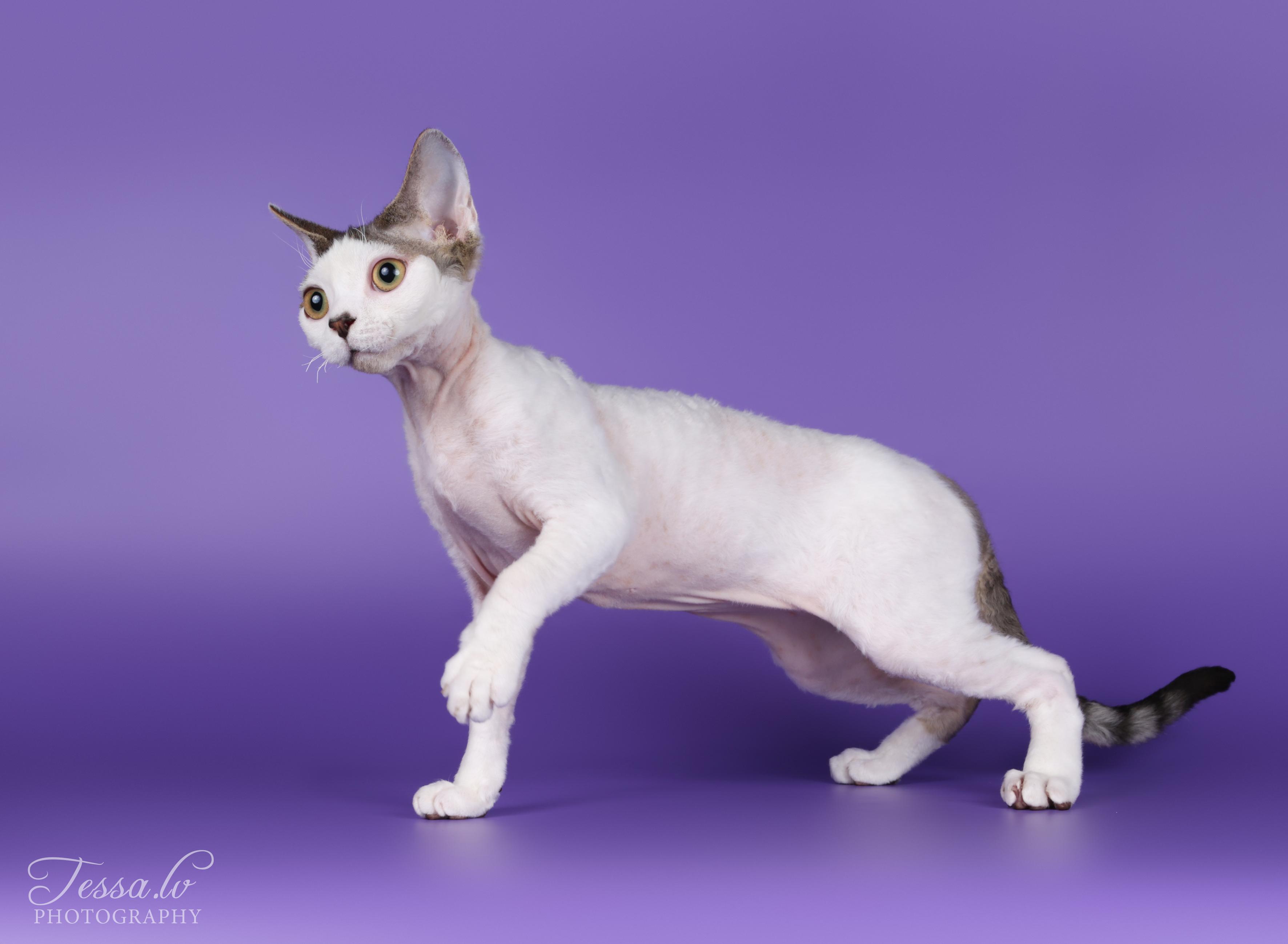 Cat Jarod arlekin