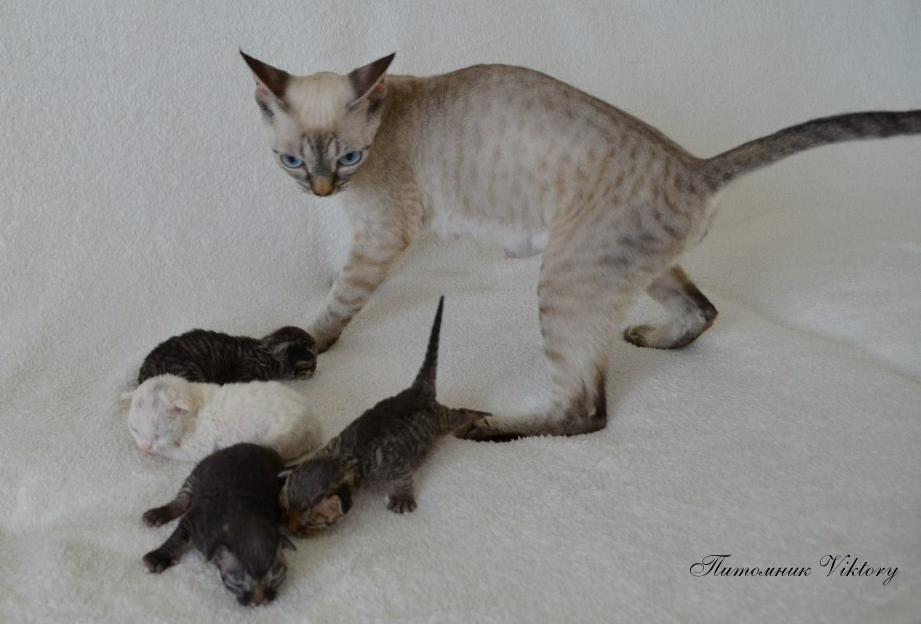 Devon rex Kary kitten