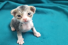 Female Devon Rex A2