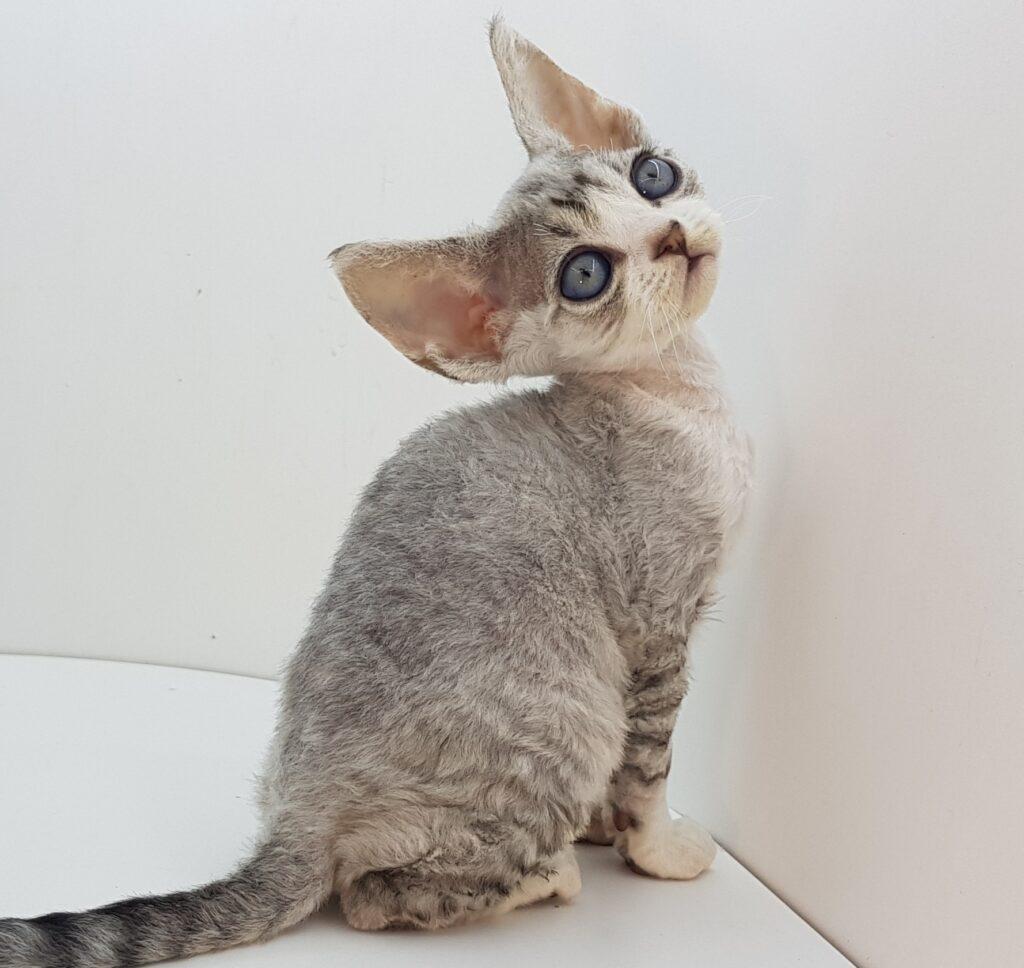 Котята девон рекс на продажу
