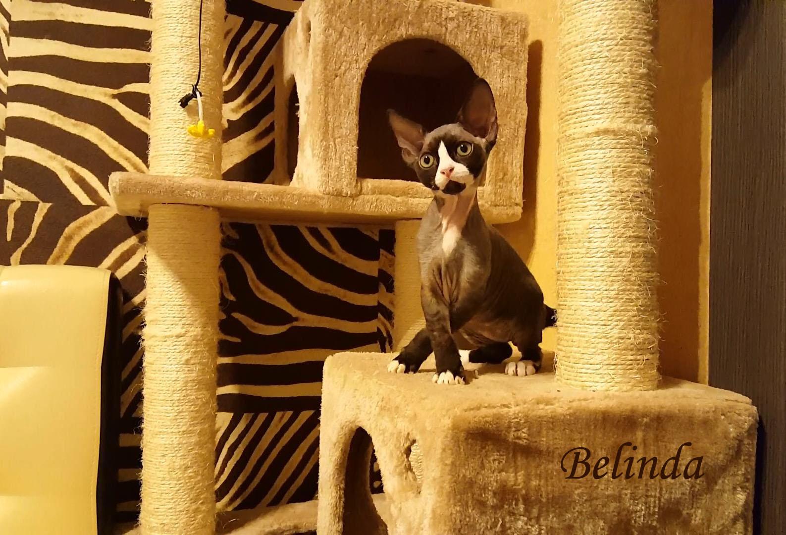 Belinda- кошка питомника девон рекс